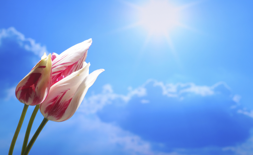 Pink tulips on a sky-blue background